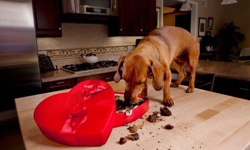 כלב אוכל שוקולד