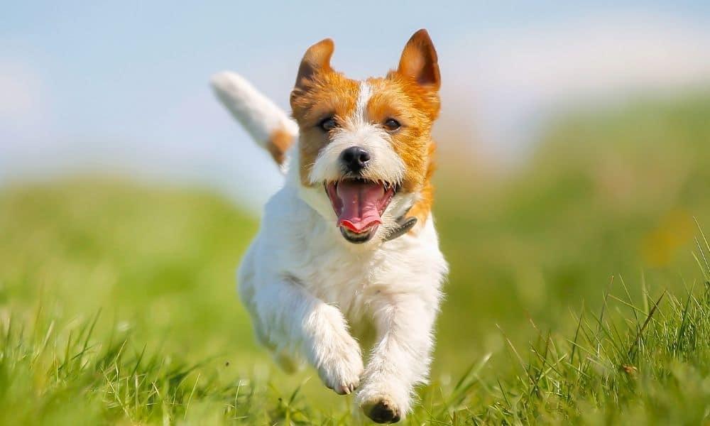 כלב קופץ בדשא
