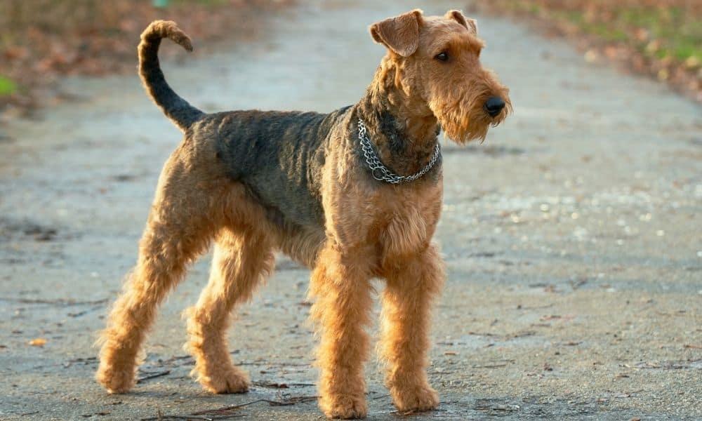 איירדייל טרייר | Airedale Terrier