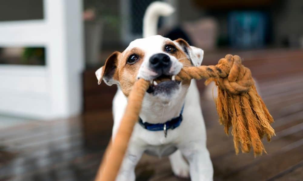 כלב מושך בחבל