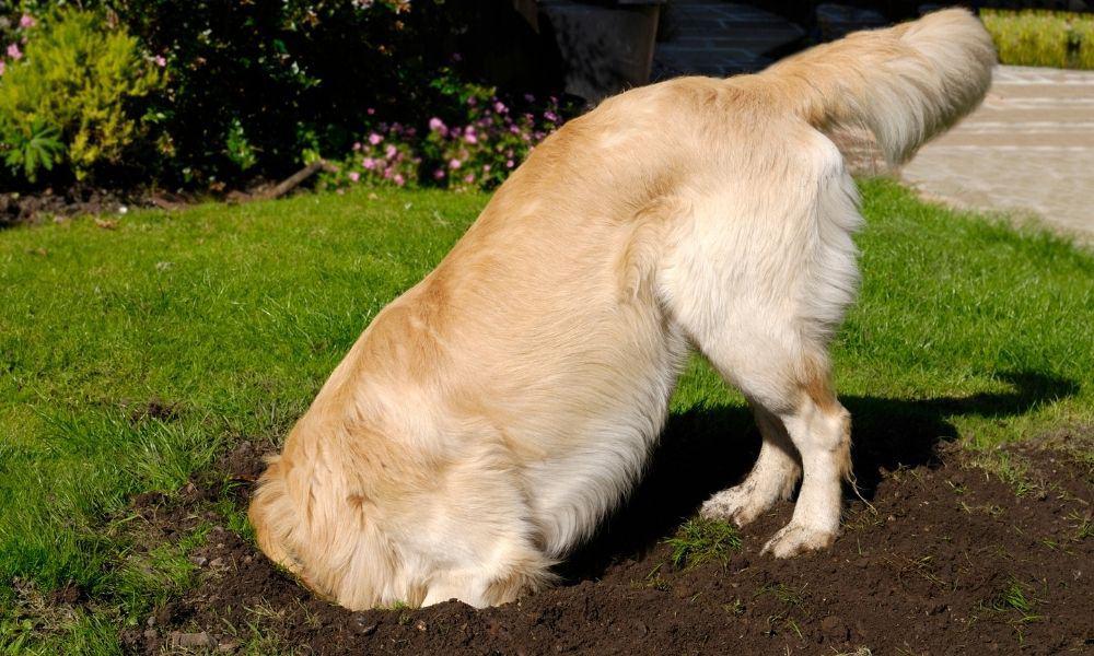 כלב חופר בור באדמה