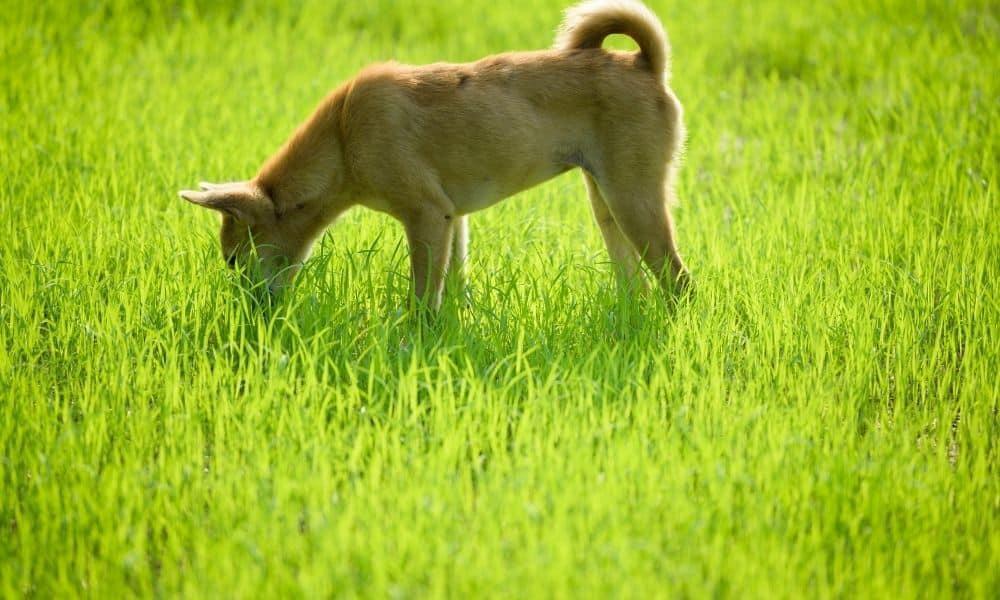 כלב אוכל דשא