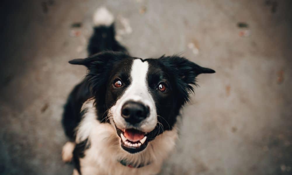 כלב מביט למצלמה