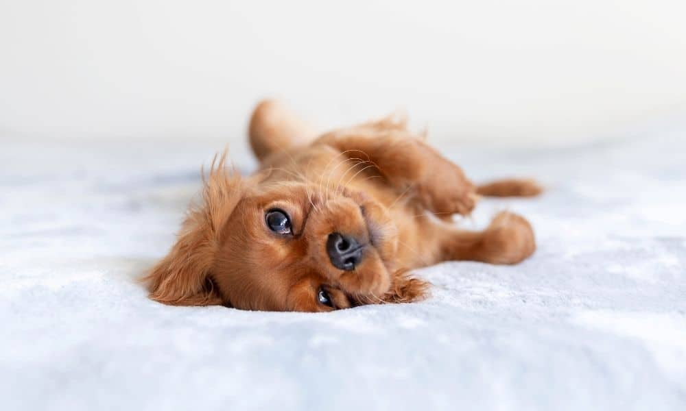 גור כלבים על מיטה