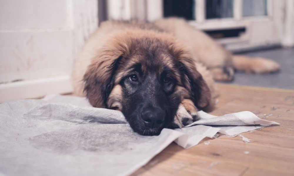 כלב משתמש בפדים לפיפי
